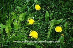 Dandelion by Collection Picture Frames on @creativemarket