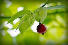 Muntingia Calabura Fruit - Yahoo Image Search Results