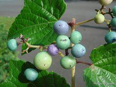 T.E.R:R.A.I.N - Taranaki Educational Resource: Research, Analysis and Information Network - Ampelopsis glandulosa var. heterophylla (Porcelain berry vine)