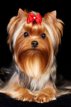 Do you know about Yorkshire Terriers? by L&G PET Photo by Pixabay from Pexels The Yorkshire Terrier originally originate. Yorkie Terrier, Terrier Breeds, Yorkie Puppy, Chihuahua Dogs, Terrier Dogs, Terrier Mix, Yorkshire Terriers, Yorkies, Yorkie Cuts