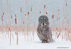 Photo Great Grey in Cattails by Rick Dobson on 500px