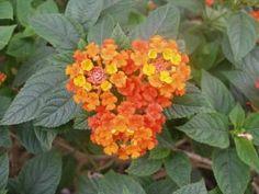 Heart flower Free Stock Photo