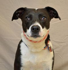 Meet Petra 26951061, a Petfinder adoptable Border Collie Dog | Hamilton, OH | Petra is current on shots, licensed and microchipped. She is 1 year old and a very sweet girl.  She...