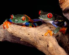 Red-eyed tree frog amphibians frogs leaf red widescreen desktop mobile iphone android hd wallpaper and desktop. Funny Frogs, Cute Frogs, Frog Pictures, Animal Pictures, Most Beautiful Animals, Beautiful Creatures, Frog Wallpaper, Wallpaper Art, Red Eyed Tree Frog