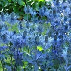 eryngiumalpinum -Sea Holly is a striking plant just made for that hot, sun baked spot. Needing full sun, very drought tolerant, and thriving on neglect, these plants are perfect for xeriscaping. Blue, unusual blooms in midsummer. These plants can grow 6-8 feet tall in some varieties, but they tend to not grow very wide, so plant several 2-3 feet apart for a good show. Hardy down to zone 2, they do not transplant well so make sure you put them where you want them! by maureen