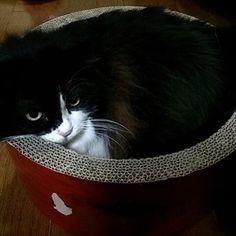 懐かしいビット&こと&トム😊💕 #ビット#こと#トム#ペルシャ#チンチラシルバー #今は亡き愛猫#懐かしい#ずっと#愛してる#cat #cute #love #chinchillasilver #persian #愛猫#猫大好き#猫多頭飼い#にゃんすたぐらむ#猫#ねこ#ネコ