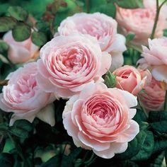 Queen Of Sweden Rose, Rose Queen, Cut Flower Garden, Pink Garden, Cactus Flower, Flower Food, Flower Gardening, Fruit Garden, Perennials