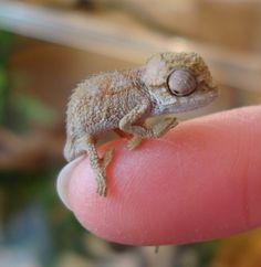* Beautiful Unsexed Crested Gecko Hatchlings *