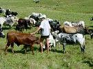 Nguni SA Cows, Cattle, Gado Gado