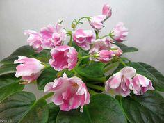 African Violet RM Volshebnyi Tulpan Magic Tulip Starter Plant | eBay