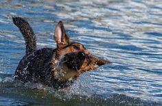 @ Best Pictures of dogs 13:  dog shaking off water