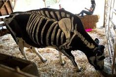 skele-cow JM.