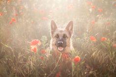 Poppy Field - German shepherd dog in the poppy flower field :) https://www.facebook.com/annaphoto.cz