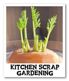Alternative Gardning: Grow Vegetables From Kitchen Scraps.  More than 20 links.
