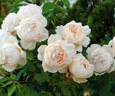 David Austin Rose.  Wollerton Old Hall English Rose.  Fragrant musk.  5 feet tall 3 feet wide or 8 feet as climber.