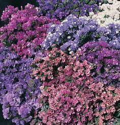 Flower Statice Pacific Mix D1568A (Multi Color) 100 Seeds by David's Garden Seeds David's Garden Seeds http://www.amazon.com/dp/B00E7WN71G/ref=cm_sw_r_pi_dp_XdVxub1SSBJD7