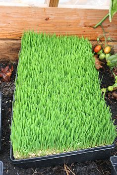 sprouting grain for chickens and goats