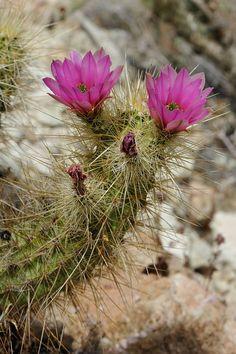 Echinocereus nicholii, USA, Arizona, Pima Co. More Pictures at: http://www.echinocereus.de