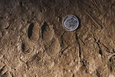 Coyote track showing incredible detail