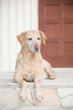 Labrador opawz.com  supply pet hair dye,pet hair chalk,pet perfume,pet shampoo,spa....