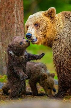 Beautiful Mother Grizzly and Cubs!