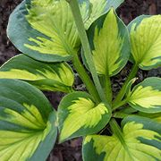 Pocketful of Sunshine – has thick, corrugated, cupped leaves that have chartreuse centers and broad, deep green margins. The centers brighten to gold as the season progresses. This miniature hosta