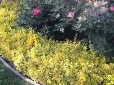 Euonymus fortunei 'Emerald 'N Gold' - 'Emerald 'N Gold' Wintercreeper - YouTube
