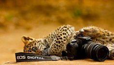 Jaguar con camara