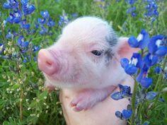 spring day pig