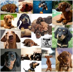 Collage of Dachshunds. Because I love them so much!