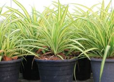Spider Plant Low Light Plants #houseplantslowlight