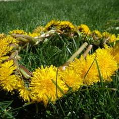 Dandelion Crown- Mom made these for me and my daughter when we were little, but since she's passed I thought we'd never learn how to make them...