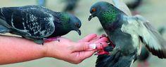 #duivenvoer #duif #mengelingen