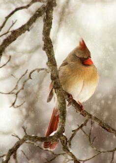 female cardinal in winter ~