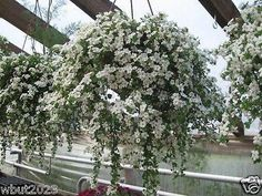 10 White Bacopa Seeds - Perfect Flowers for hanging baskets and windowboxes!