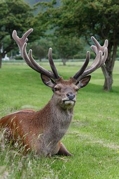 Handsome Stag