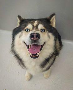 Husky, Cage, Spa, Animals, Acceptance, Animales, Animaux, Animal, Animais