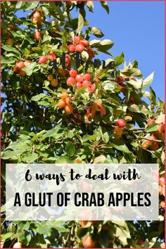 6 ways to deal with a glut of crab apples including recipes for preserves and craft ideas. Crab Apple Recipes, Fruit Recipes, Plant Based Recipes, Recipies, Apple Jelly, Fruit Preserves, Cooked Apples, Plant Identification, Crab Apples