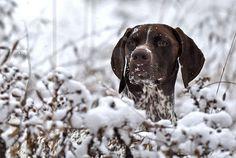 German Shorthair in the Snow