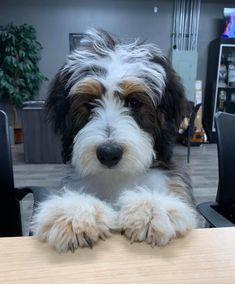 269 Best Beloved Bernedoodles Images Bernedoodle Puppy