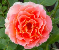 The 'Polka,' is a fragrant climbing rose with peony-like blossoms about 6 inches across that blooms in waves throughout the summer. | Photo: Dale Horchner | thisoldhouse.com