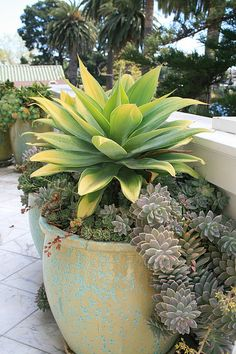 Agave attenuata 'Kara's Stripes' in pot at terrace by David Feix Landscape Design, via Flickr