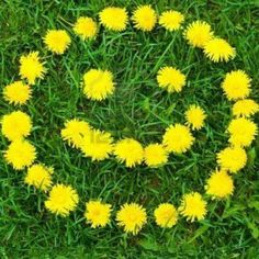 Smile<br> Stock Photo - Close-up of dandelion flower's smiley at the field Dandelion Coffee, Dandelion Flower, Dandelion Leaves, Smileys, Bon Week End Image, Dandelion Benefits, Jolie Photo, Arte Floral, Mellow Yellow