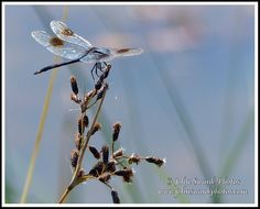 Dragonfly on Sanibel, photograph by John Swank