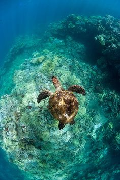 turtle-coral-reef-hawaii by Michael Sweet on Flickr. Green sea turtle swimming over coral reef Maui, Hawaii.  I love me some sea turtles!