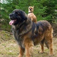 This dog who's basically a horse for Chihuahuas. | Community Post: 21 Dogs Who Don't Realize How Big They Are