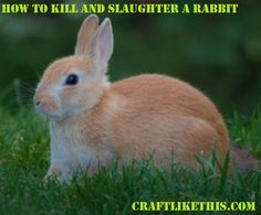 How to humanely kill and slaughter a rabbit.  #homesteading #homestead #diy