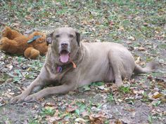 To own a Ches....I mean to be owned by a Chesapeake Bay Retreiver, is to be thoroughly loved!   Carter Brown