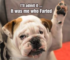 Bulldog Dog I'll admit it...It was me who farted