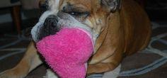 Meet Miss February for the Dogs of Stapleton Calendar...Pork Chop